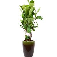 떡갈나무((대)