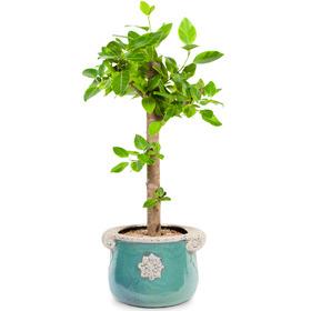 뱅갈고무나무(대)
